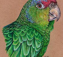 Red-Crowned Amazon by Kristyn Janelle
