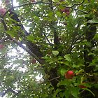 Upstate apple tree by Erica Lipper