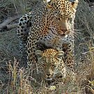 Mating Leopards ! by jozi1