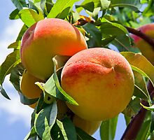 Peaches on the Tree by Kenneth Keifer