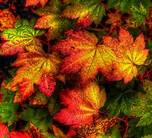Pop Out ~ Leaves Vine Maple ~ by Charles & Patricia   Harkins ~ Picture Oregon