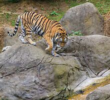 Tiger - Dublin Zoo by DanButlerPhoto