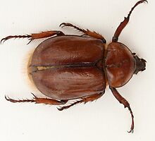 Brown Beetle by rhamm