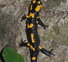 Fire Salamander on Rock 1 by jojobob