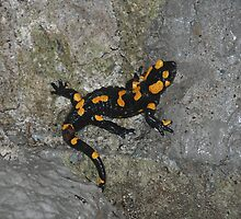 Fire Salamander on Rock 3 by jojobob