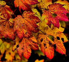 A Real Knockout ~ Leaves Fall Colors ~ by Charles & Patricia   Harkins ~ Picture Oregon