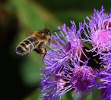 Australian Bee Arriving At Flower by Margaret Saheed