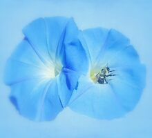 Morning Glory Blues by MotherNature2