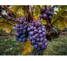 In Groups Of Three ~ Grapes ~ Photographic Print