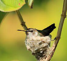 Hummingbird Sitting On Eggs by DARRIN ALDRIDGE