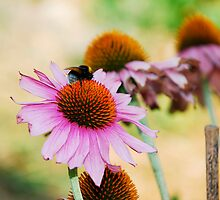 Echinacea Purpurea with Bee 1 by jojobob