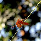 DragonFly by Mahmud  Alam