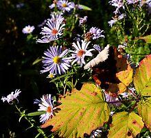 Michaelmas Daisy - Autumn by Jessica Reilly