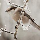Grey Jay (Perisoreus canadensis) by Marty Samis