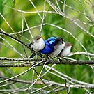 Blue Wren Family  by Coralie Plozza