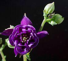 Aquilegia vulgaris by Clare Colins