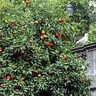 Oranges and a Gull by magiceye