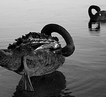 Two Black Swans by dioptrewho
