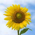 Sun Flower Against Blue Sky by ValeriesGallery