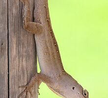 Brown Anole by caybeach