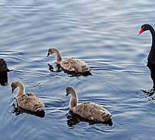 Family of Black Swans by Sandra Chung