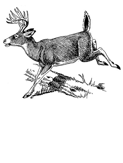 White Tail Buck Sketch by kwg2200