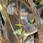 sleepy koala by milena boeva