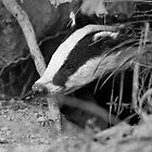 Badger (Meles meles) by ChrisMillsPhoto