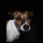 Lola the Jack Russell Terrier by dollyforsue