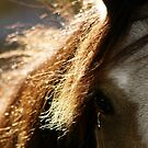 11.10.2013: Welsh Pony I by Petri Volanen