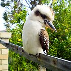 Kookaburra And Lemon Tree City Beach 08 10 13 by Robert Phillips
