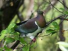 Kereru - New Zealand native Wood Pigeon.......feeding (1) by Roy  Massicks