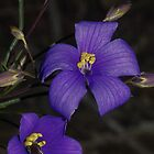 Cheiranthera linearis (Finger flower) by Russell Mawson