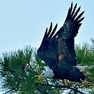 Bald Eagle Leaps Into Action by imagetj