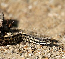 Adder by Christopher Lloyd