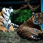 Young Tigers by MattyBoh424