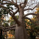 BOAB TREE, Broome by Pauline Tims