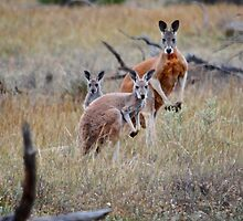 Red Kangaroo family by Ian Berry