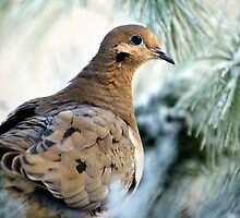 Winter Bird Mourning Dove by Christina Rollo