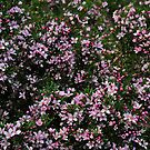 Native Boronia by Kip Nunn