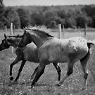 Appaloosa Horses Black and White by jamieleigh