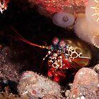Peacock Mantis Shrimp by Jamie Kiddle