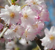 Cherry Blossoms by Celia G