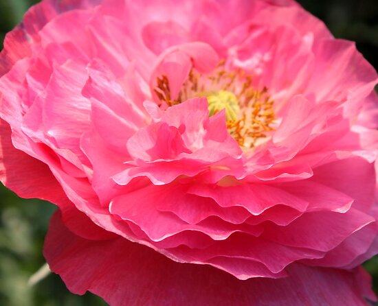 Pink Organza by Antionette