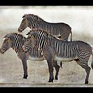 Zebra Trio by CarolM