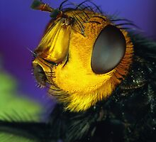 Yellow Faced Fly by jimmy hoffman