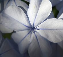 Pale Blue Plumbago Flower Close Up by taiche