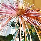 Flowers - Spider Mum Pink Splendor by Susan Savad