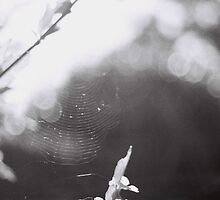 Spiderweb by Adam Dens