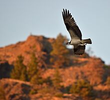 Osprey Over the Missouri River by DWMMPhotography